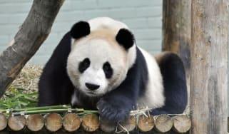 Edinburgh Zoo's giant Panda