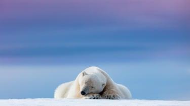 polar bear sleeps