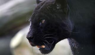 panther, jaguar