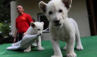 White lion cubs Mombasa and Nala