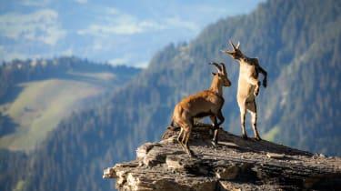 goats on mountain