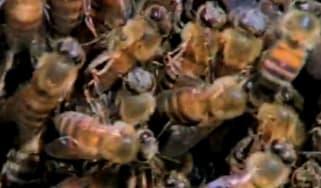 killer-bees-1.jpg
