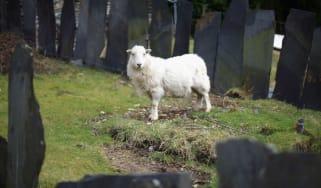 bw-sheep.jpg