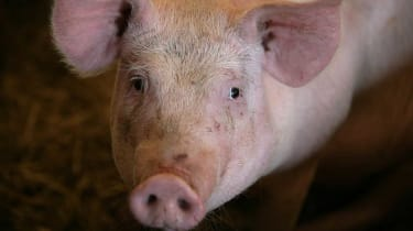 Police lured rogue pig back to farm using snacks from KFC