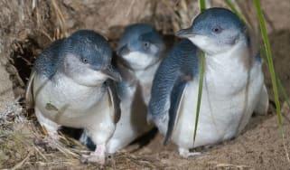 Little or fairy penguins