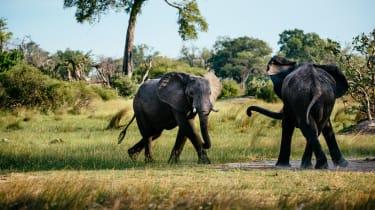 Okavango Delta elephants fighting