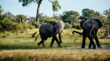 Okavango Delta elephants fighting
