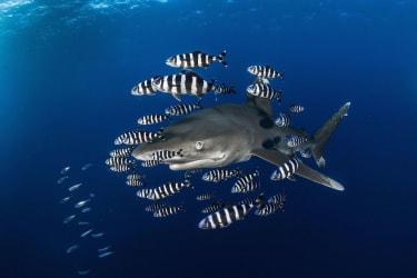 Shark by Greg Lecoeur