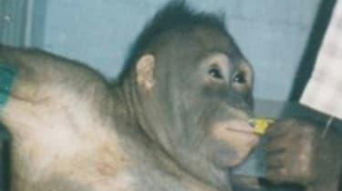 Pony the orangutan