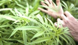 wd-160308_cannabis.jpg