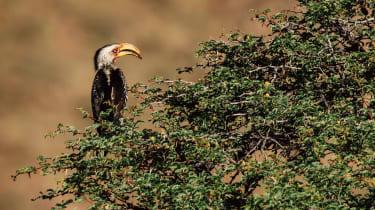 Southern yellow-billed hornbill, Kalahari