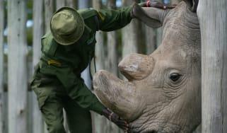 Sudan the rhino