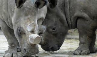 Rhinos at Dvur Kralove zoo