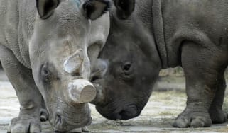 Rhinos at Dvur Kralove zoo