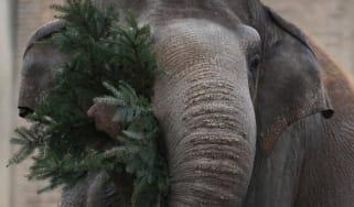 An elephant eats some leaves