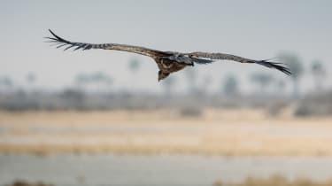 Vultures, Botswana