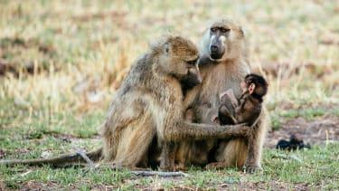 Okavango Delta baboons