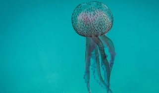 A jellyfish in the ocean