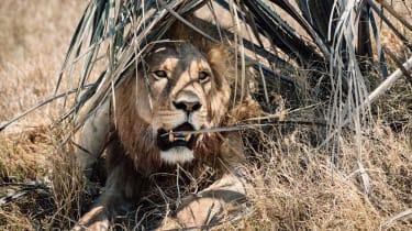 Lion on the Makgadikgadi salt pans, Botswana