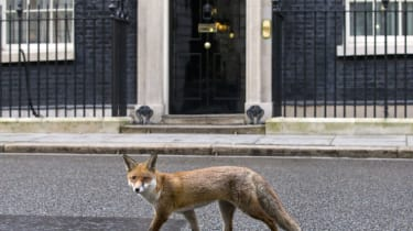 A fox runs past the door of 10 Downing Street on Janurary 13, 2015. AFP PHOTO / JUSTIN TALLIS(Photo credit should read JUSTIN TALLIS/AFP/Getty Images)