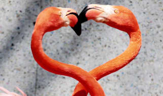 A pair of Caribbean flamingos extend their heads and necks in a heart shape as flamingos perform courtship dances at the Saitama Children's Zoo in Higashimatsuyama city in Saitama prefecture,