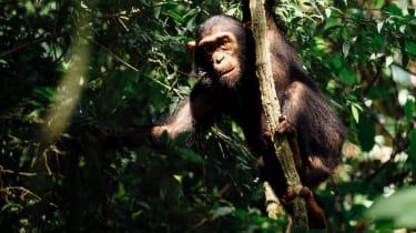 Chimpanzees at Mahale National Park, Tanzania