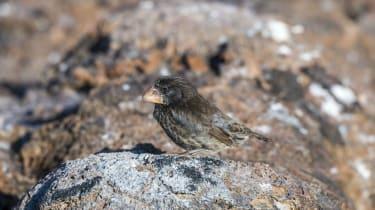 Darwin Finches Galapagos