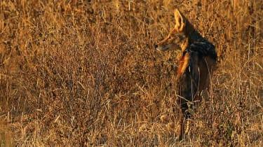 jackals have been driving westward across Europe since the 1980s