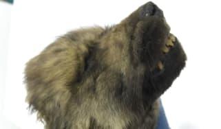 Dog, Wolf