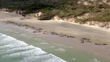 Stewart Island stranded whales