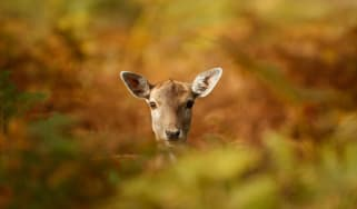 A young deer hides in the autumnal bracken