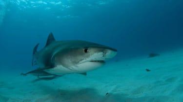 210918-wd-tiger-shark.jpg