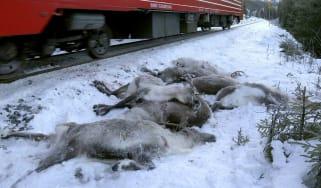dead reindeer