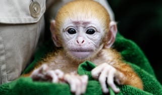 Baby Langur at Bali Zoo