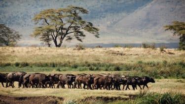 Buffalo in the Ngorongoro Crater, Tanzania
