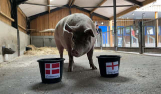 Suzie the psychic pig from Ouseburn Farm in Newcastle-upon-Tyne