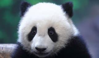 Baby panda in China