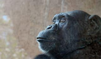 150421-chimp.jpg