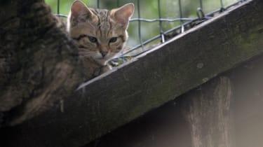 A European wildcat