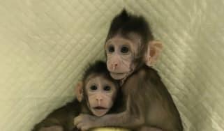 Cloned monkeys