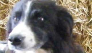 160426-pero-sheepdog.jpg