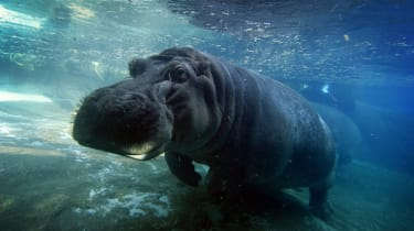 """A hippopotamus also known as the common hippo swims in its enclosure at the San Diego Zoo, California on January 13, 2015.The name hippopotamus comes from the ancient Greek for """"river horse""""."""