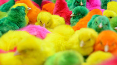 MANILA, PHILIPPINES - JANUARY 31:Chicks dyed with various colors are sold in the Chinese district of Binondo on January 31, 2014 in Manila, Philippines. Thousands gathered today to celebrate