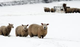 snow-sheep-weather-2502313.jpg