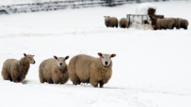 snow-sheep-weather-2502313.jpg