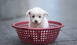 A puppy sits in a plastic strainer, waiting to be sold by its owner, in front of a subway station in downtown Shanghai on October 28, 2015. The owner sold four puppies each selling for 100 yu
