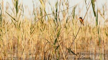 Okavango Delta kingfisher