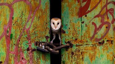 barn owl in door
