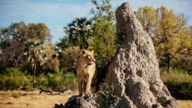 Okavango Delta lion on a termite hill