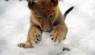 Lion plays with snow ball in Belgrade